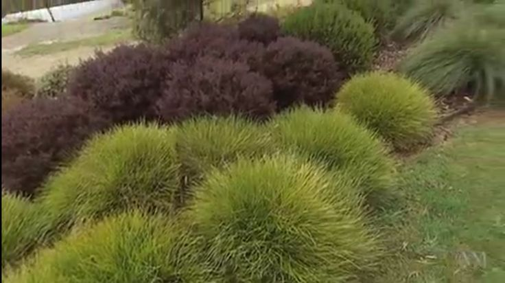 Lomandra Little Con & Dwarf Tea Tree (Leptospermum scoparium 'Nanum Rubrum')