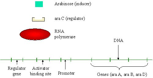 bacteria transformation in biotechnology Biotechnology and bacterial transformation abe lab sequence creating a recombinant plasmid restriction and ligation we used restriction enzymes to cut the two plasmids at the certain points slideshow 2055798 by conan.