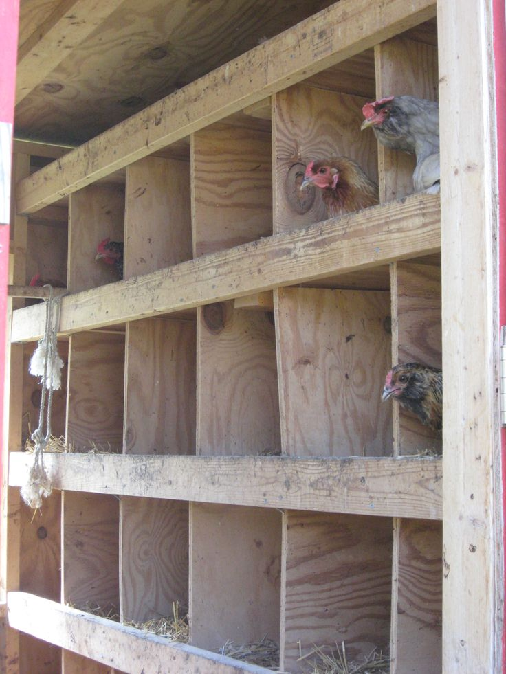Chickens roosting in the coop.
