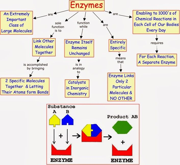 Enzymes speed up a chemical reaction by loweing the activation energy needed to start the reaction. Description from linfeibioblog.blogspot.com. I searched for this on bing.com/images