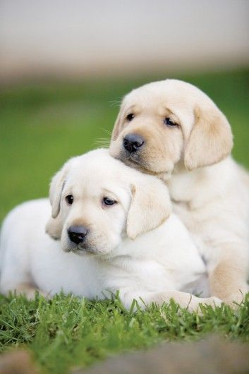 Yellow Labrador Retriever puppies - nothing cuter in the world