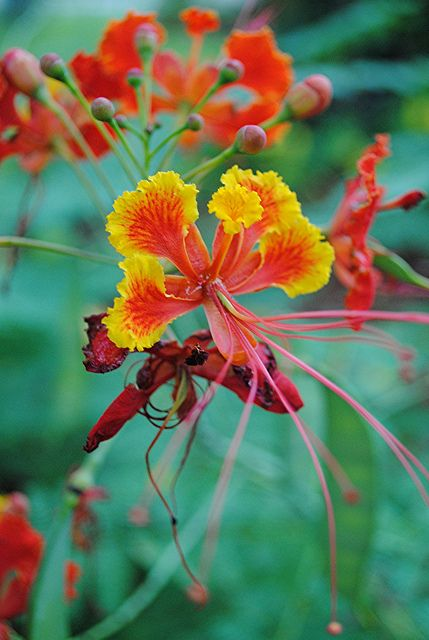 76 Best Gulmohar Images On Pinterest Delonix Regia