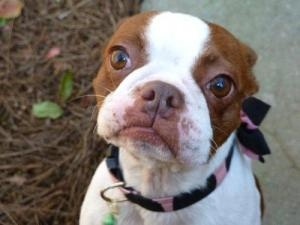 MISSY is an adoptable Boston Terrier Dog in North Augusta, SC.  Missy is a unique red (tan) and white 'splash'Boston Terrier and is a little over 1 years old. She was rescued from a puppy mill and h...