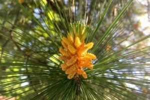 bach flower remedy pine, pine benefits, pine uses, pine symptoms, flower remedy…