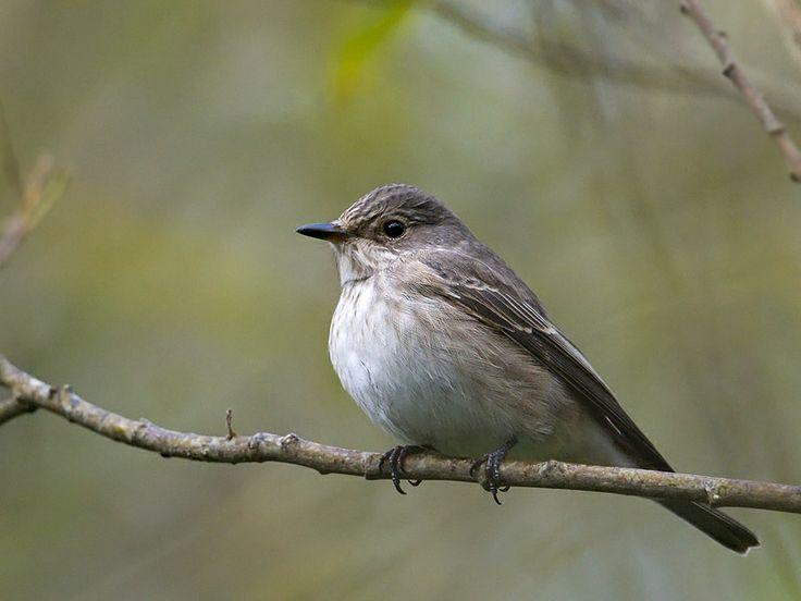 spotted flycatcher | Spotted Flycatcher