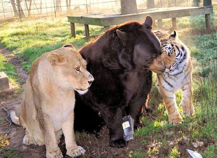 La leona Leo, el oso negro americano Baloo, y el tigre de Bengala Shere Khan, rescatados en una redada antidroga (1991), se han criado y viven juntos en la Reserva Natural Noah´s Ark de Georgia, USA.