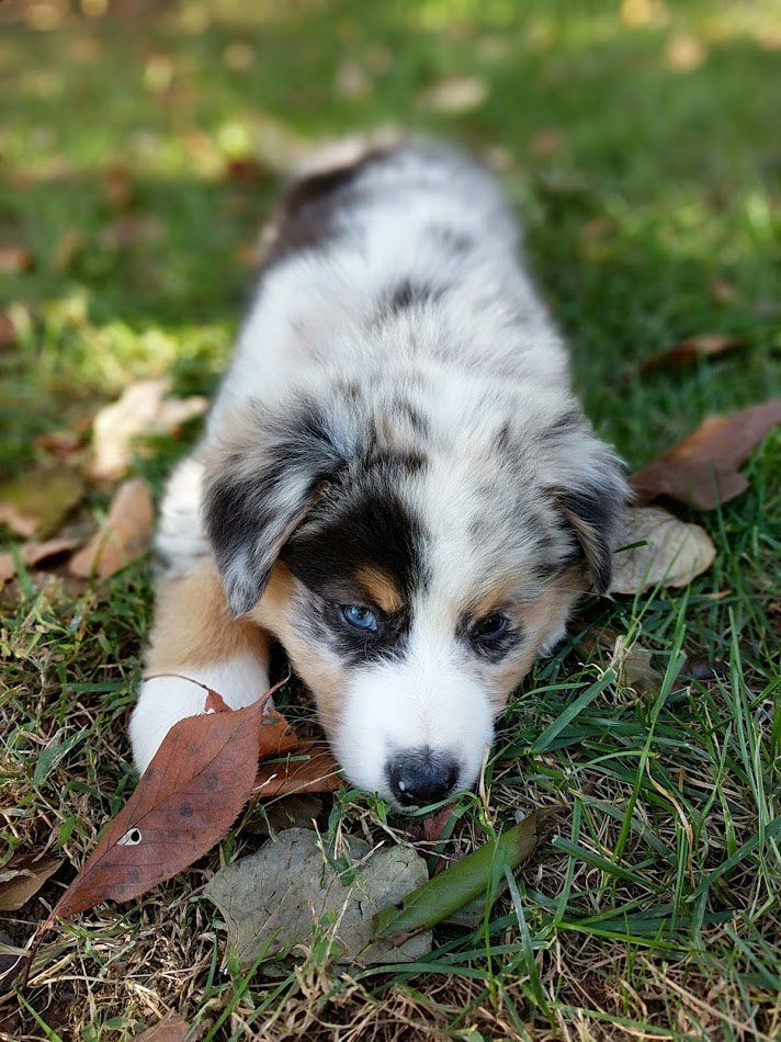 Meet Cosmo, the cute newly adopted Australian Shepherd puppy