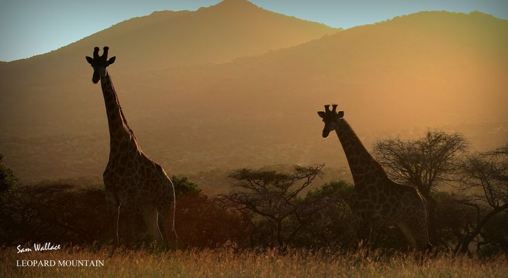A beautiful photograph by one of our new students at Leopard Mountain. We wish you both the best of luck! #Giraffe