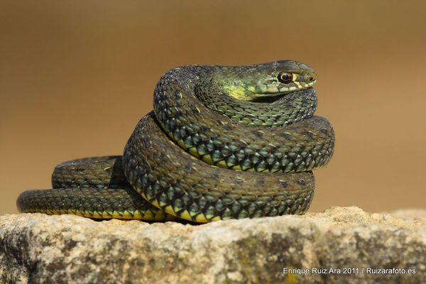Serpientes venenosa de España