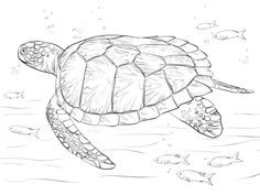 Green Sea Turtle coloring page from Turtles category. Select from 20946…