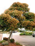 Melaleuca leucadendra  - Care Transplanters - Sunshine Coast Brisbane South East Queensland Qld Australia