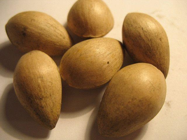 Ginkgo Biloba Maidenhair Tree 1 seed