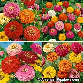 how to get seeds from zinnias