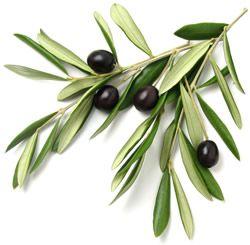 Olive + Leaves