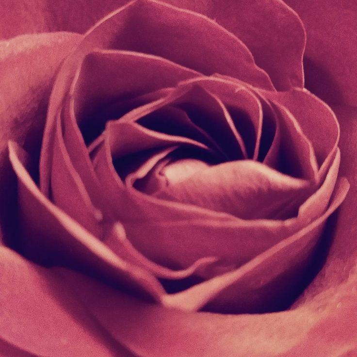 Red rose - photo by Olimpia Hinamatsuri Barbu http://bit.ly/olimpiahinamatsuri See this Instagram photo by @olimpiahinamatsuri • 3 likes