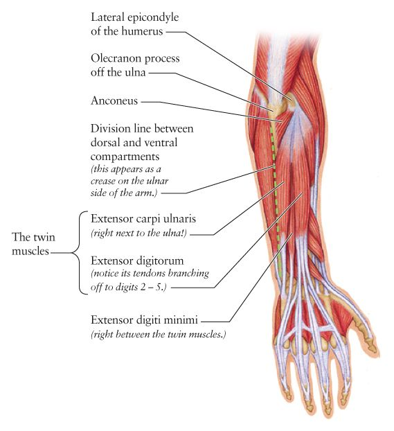 dorsal forearm muscle anatomy-detailed & helpful memory tips!