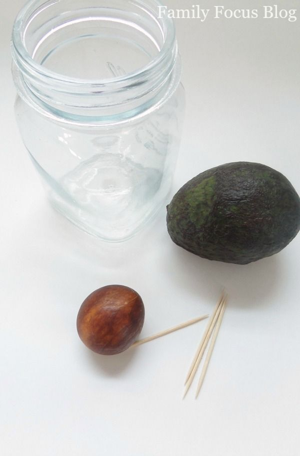 Growing Avocado From Pit Is Easy - Family Focus Blog