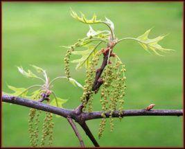bach flower remedy oak, oak benefits, oak uses, oak symptoms, flower remedy oak…