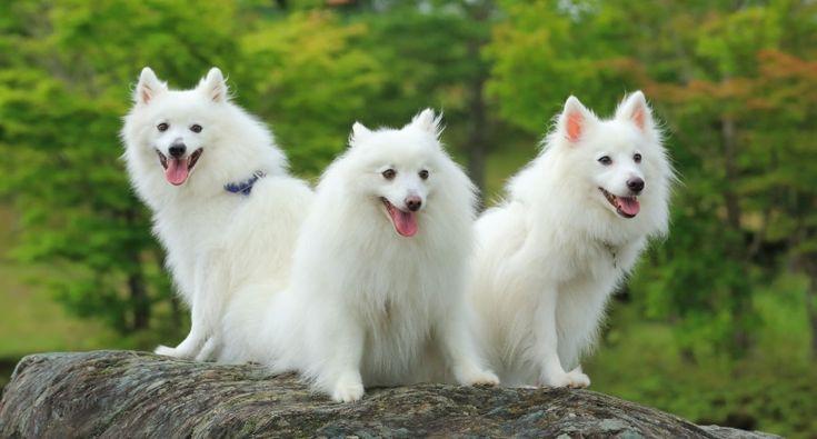 Dekoratív fajtájú kutyák: egy nagy lista a háziállatok és azok jellemzői (+ fotók) Japán Spitz és amerikai Spitz (eszkimó)