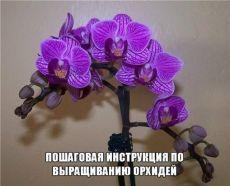 Как заставить орхидею выпустить детку? Как ухаживать Как пересаживать детку, отводок орхидеи Как правильно поливать цветок Орхидея Как выращивают орхидеи