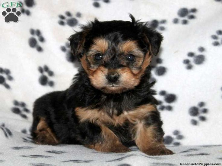 yorkie chon for sale tristan yorkie chon puppy for sale from christiana pa 2416
