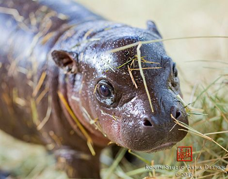 Baby Pygmy Hippo...By:zooborns