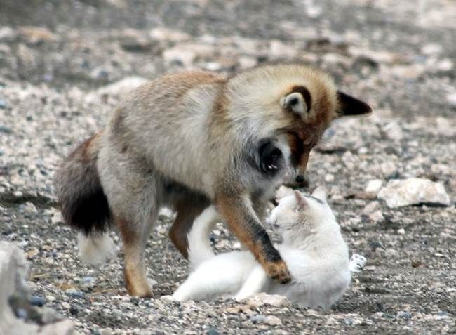 What happens when a cat and a fox learn that they like each other? Cuteness, that's what! See below as a red fox and a domesticated cat become an odd but adorable pair of friends:
