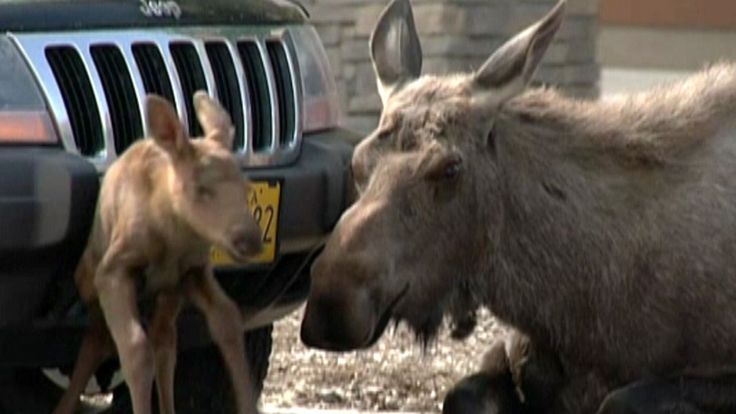 Shoppers in Alaska were treated to a rare sight Tuesday when a moose gave birth outside a Lowe's hardware store.