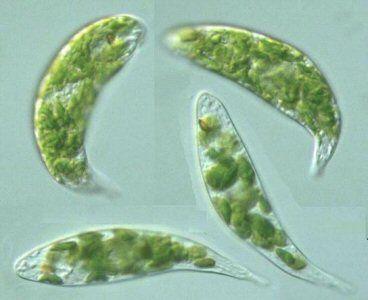 algas unicelulares - Pesquisa Google - A Euglena viridis vista em microscópio óptico