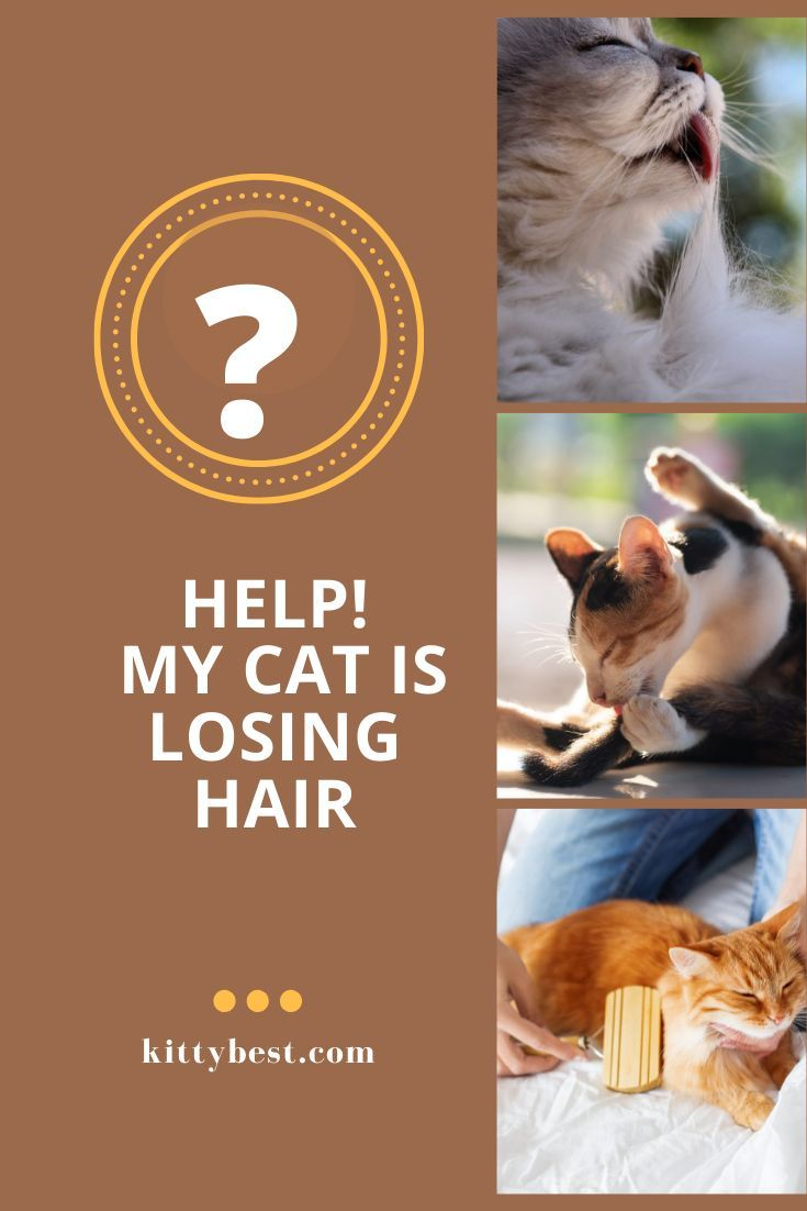 Help My Cat Is Losing Hair Causes Cat Care Lost Hair Pet Care