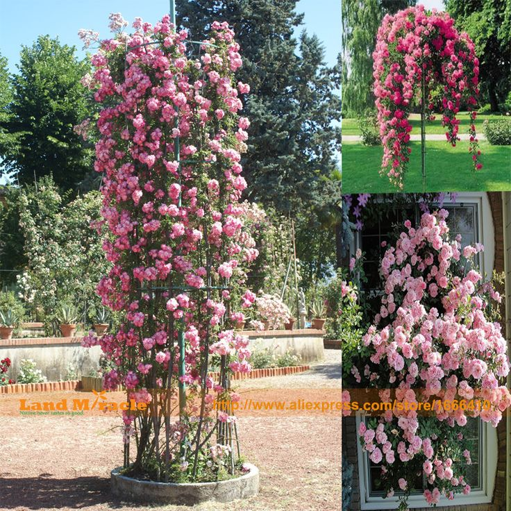 Find More Bonsai Information About Bonsai Rose Seeds, 20 Seeds/Pack, BLUSH  Climbing Rose Seeds, Real Seeds, IDEAL DIY Home Garden Flower,High Quality  Seeds ...