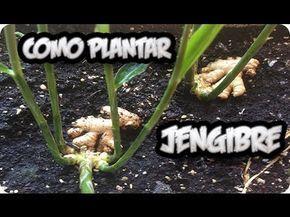 Como+Cultivar+Jengibre+En+Maceta
