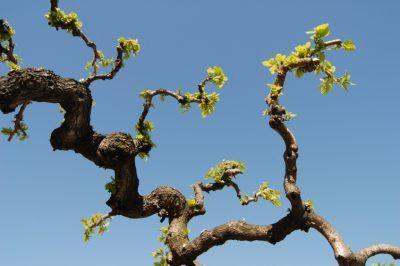 Ein Maulbeerbaum lässt sich zu bizarren Formen schneiden
