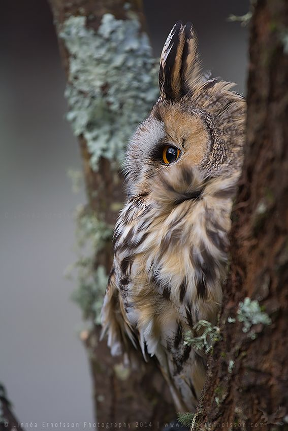 Long-eared Owl by linneaphoto on DeviantArt. Oh my, side view of the owl look like Totoro :)