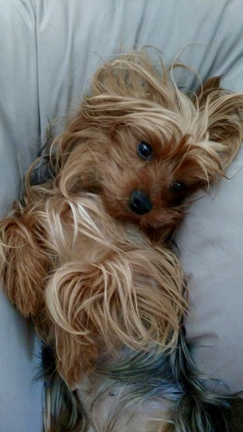 Silky Terrier dog for Adoption in Greenville, SC. ADN-654508 on PuppyFinder.com Gender: Female. Age: Adult
