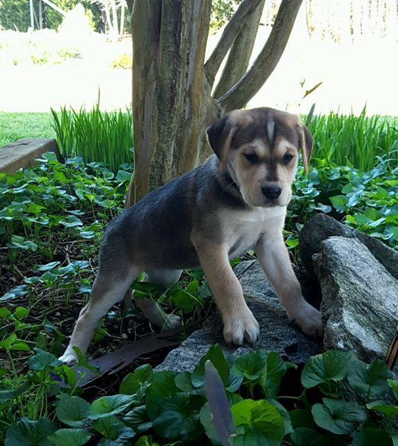Labrador Retriever Dog For Adoption In Social Circle Ga Adn 810163 On Puppyfinder Com Ge Labrador Retriever Labrador Retriever Puppies Labrador Retriever Dog