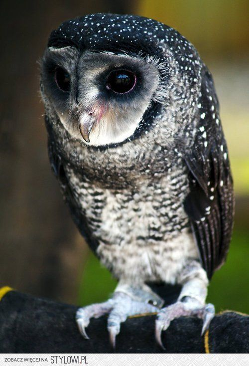 #owl- what lovely eyes you have!