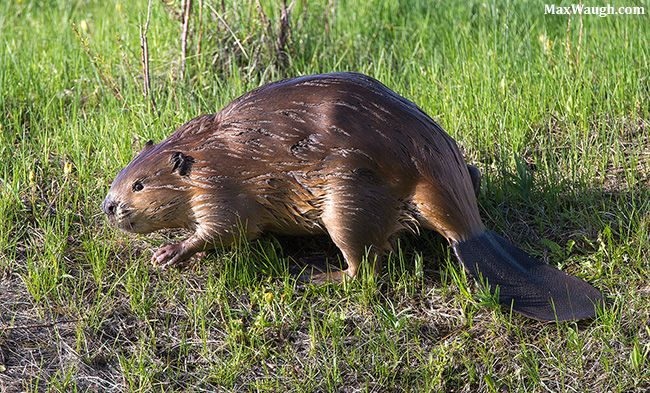 Animal Identification Throwdown Otter Vs Beaver Vs Muskrat Animals Otters Beaver