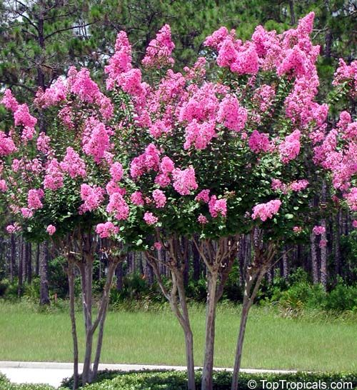 28 best love mrytle 39 s images on pinterest crepe myrtle Small flowering trees