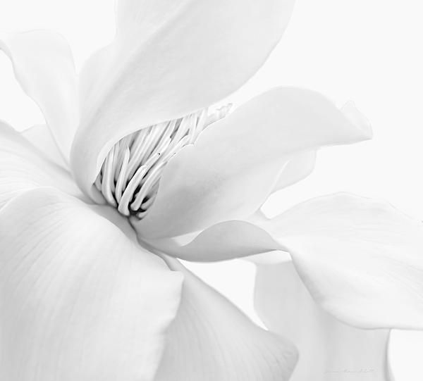 soft silver gray Magnolia flower photography art for your home or office decor. #gray #grey #silver #magnolia #flower