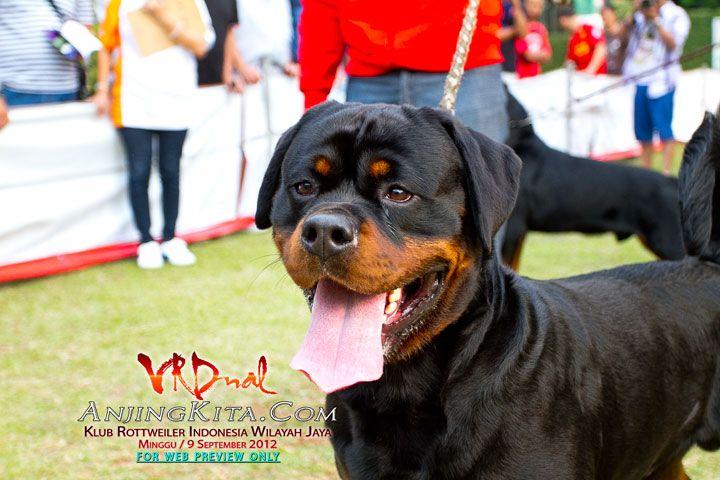 Galeri Foto - Pameran Anjing Rottweiler KRI Jaya - - AnjingKita.Com  http://anjingkita.com/foto/index.php?PGCatID=235