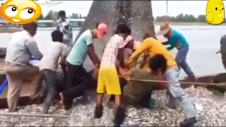Cambodian People Are Collected Fishes to make Cheese-Amazing Net Fishing...