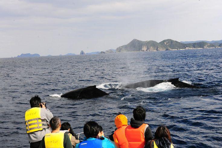 座間味村ホエールウォッチング / Whale watching at Zamami Village