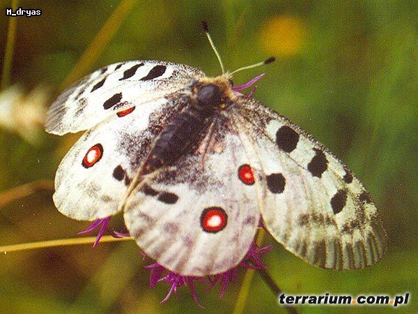 Parnassius apollo (Niepylak Apollo) Motyl dzienny z rodziny paziowatych (Papilionidae) Pochodzenie: Polska, występuje w Pienińskim Paru Narodowym Rozpiętość skrzydeł: 8 cm  jedyny polski motyl na liście CITES ( the only Polish butterfly on the CITES list )