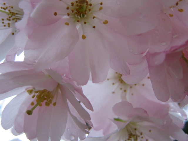 Flowering tree  Photo by M.Maskowitz