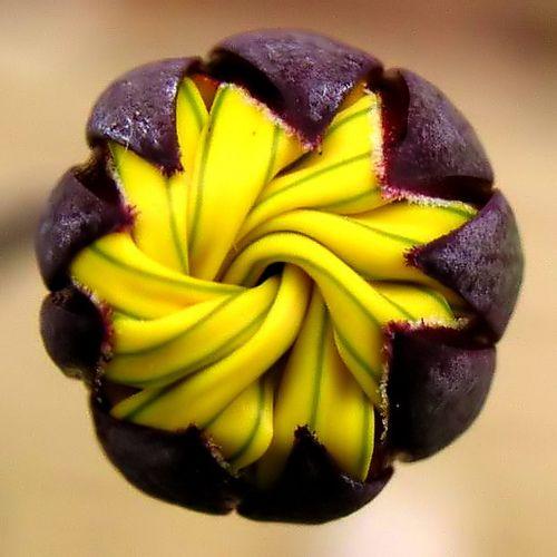 OthonnaOthonnas se encuentran dentro de la familia Asteraceae (Compositae). Othonnas son muy diversas y van desde arbustos suculentos con pachycaul tallos, geófitas con tubérculos subterráneos y provienen caudiciformes suculentas.