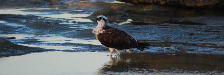 Osprey on the Rocks at Alex Headlands Sunshine Coast Australia by Jason Cosgrove