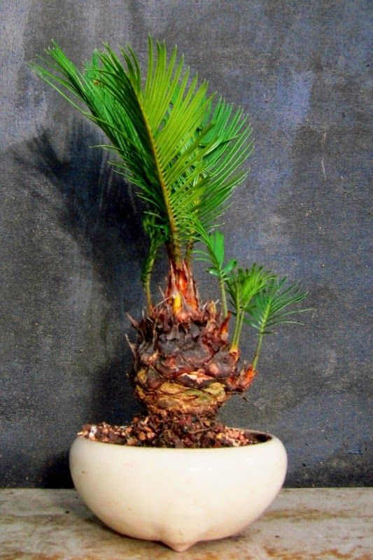 sago palm bonsai tree how to make