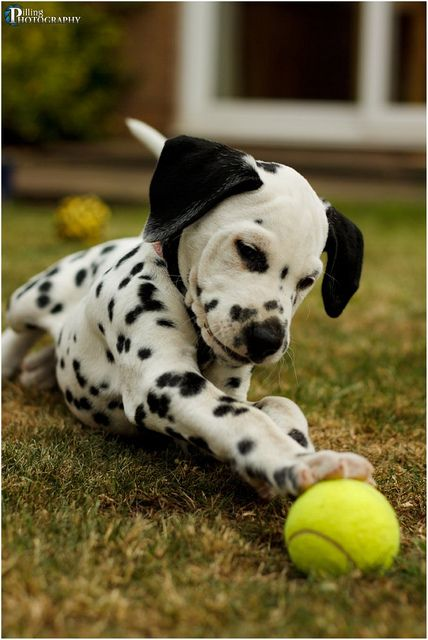 Being a kid who grew up with dalmatians...I love them and they are so precious as puppies!