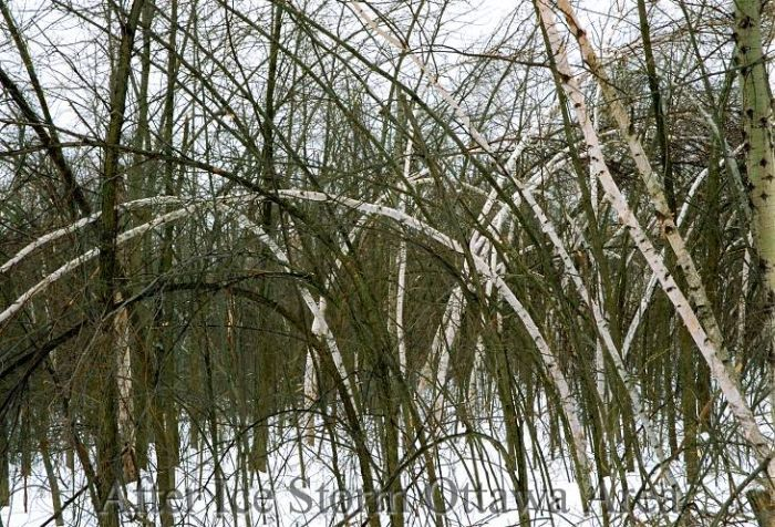1998: Ice storm damage in the Ottawa area